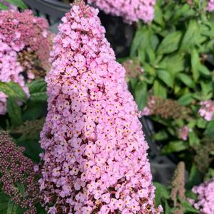 Buddleia Pugster Pink ®(PP28836)
