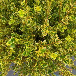 Buxus microphylla Golden Dream (PP16052)