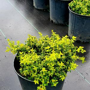 Buxus microphylla KINGSVILLE
