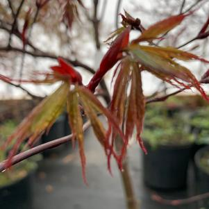Acer palmatum Red Dragon