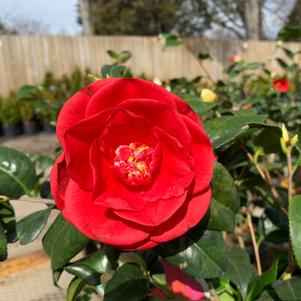 Camellia japonica Rosehill Red